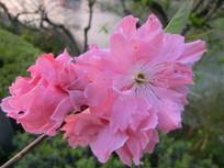 千瓣桃花朵朵开