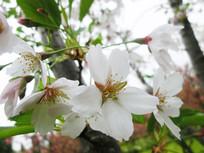 盛开的白色的樱花