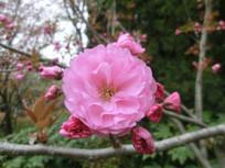 盛开的粉红色的樱花