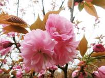 盛开的浪漫的樱花