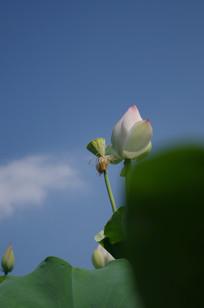 深蓝天空下的粉色荷花
