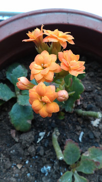 杏黄色的长寿花图片
