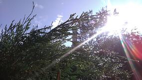 阳光柏树图片