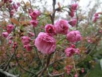 樱花朵朵开