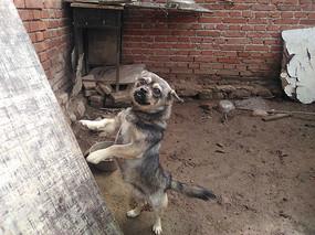 站立的小狗图片