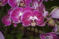 紫色白斑蝴蝶兰