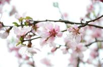 春天盛开的桃花