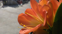 光中的君子兰兰花图片