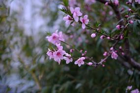 红配绿枝头桃花