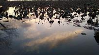枯萎荷叶的水中倒影图片