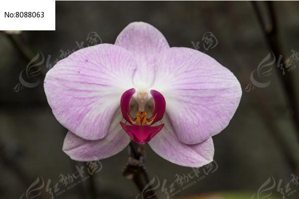 浅紫色的蝴蝶兰