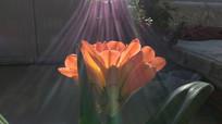 阳光下的君子兰图片