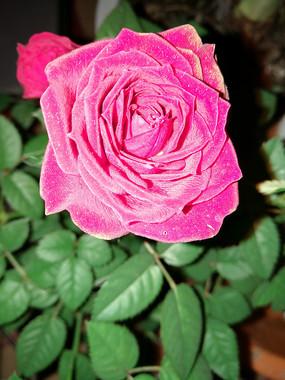 夜晚绽放的粉红玫瑰