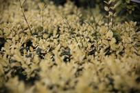 一片黄色的绿化植物