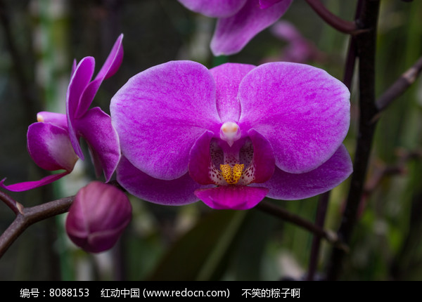 紫色的蝴蝶兰