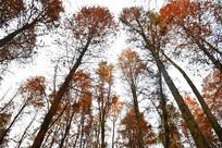 成片的秋季红色水杉拍图