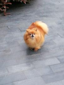 可爱的金色博美犬