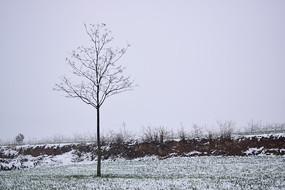 麦田中的大树