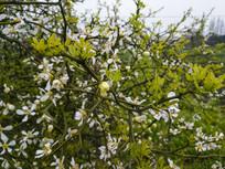 满树绿芽白色花