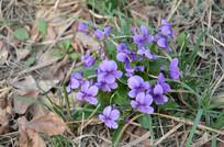 盛开的紫色地丁花