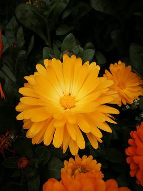 盛开中的金盏菊