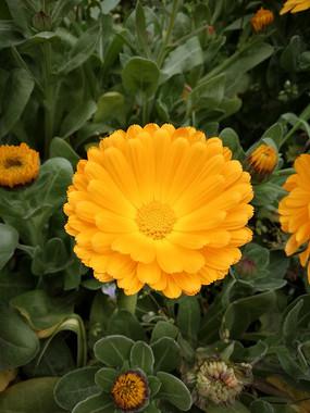 阳光下的金盏菊