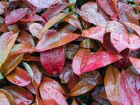 雨滴红色叶片