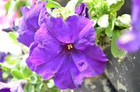 紫色矮牵牛花