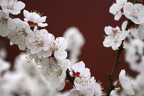 白梅花盛开