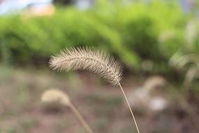 春季里的狗尾草