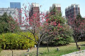 公园里绽放的梅花