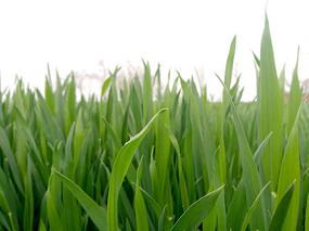 绿色的麦苗