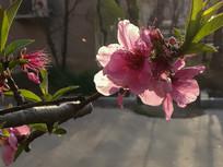 逆光中的桃花