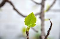 新生的无花果树叶