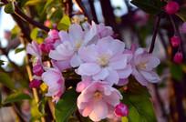 夕阳下的海棠花