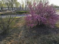 一颗盛开的榆叶梅