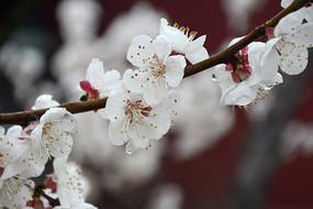 枝头白梅花