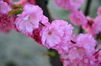 最美的时光榆叶梅