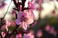 春天被夕阳照射的梅花