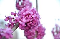 春天球形紫荆花