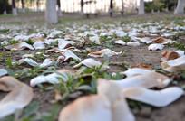 凋落的白色玉兰花瓣
