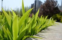 花坛里的鸢尾花