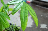 晶莹剔透的发财树叶