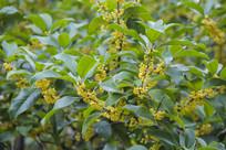 绿叶丹桂香