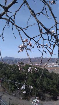 天空下的杏花图片