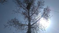 阳光下的大杨树图片