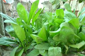 春天菜园的菠菜