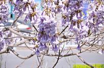 春天梧桐花开