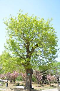 发芽的皂荚树
