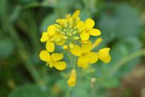 黄色的油菜花
